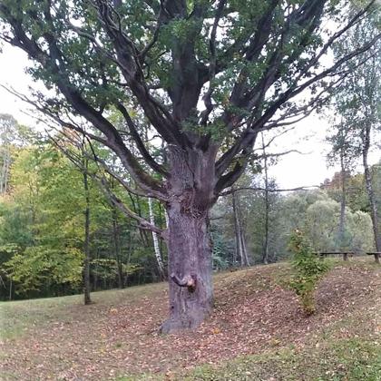 Šaukšteliškių ąžuolas
